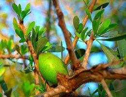 argan-tree
